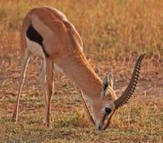Gazelle de Thomson masculino Imagenes de archivo