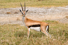Gazelle de Tompson Imagenes de archivo