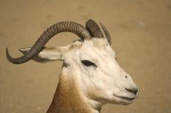 Gazelle del Dama fotografie stock