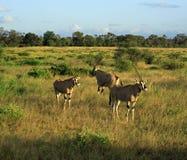 Gazelle del Grant Immagini Stock Libere da Diritti