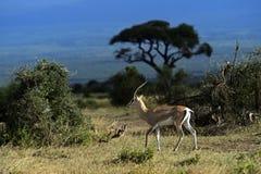 Gazelle del Grant Immagini Stock