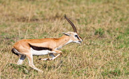 Gazelle del Grant maschio Fotografie Stock