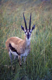 Gazelle del Thompson, Africa immagini stock
