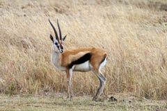Gazelle del Thomson Fotografia Stock Libera da Diritti