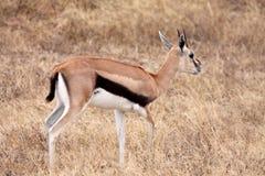 Gazelle del Thomson - femmina Fotografie Stock Libere da Diritti
