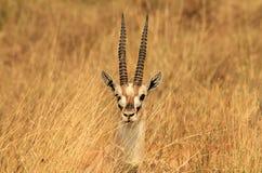 Gazelle del Thomson Headshot Immagini Stock