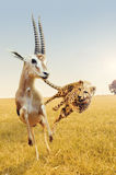 Gazelle di caccia del ghepardo sulla savanna dell'Africa Immagine Stock