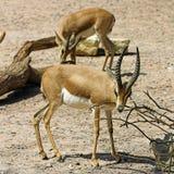 Gazelle di Dorcas (neglecta di dorcas del Gazella) Immagine Stock Libera da Diritti