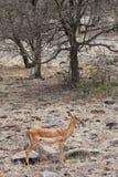 Gazelle di Grantâs che si leva in piedi in un paesaggio asciutto Fotografie Stock Libere da Diritti