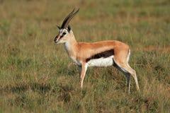 Gazelle di Thomsons Immagine Stock