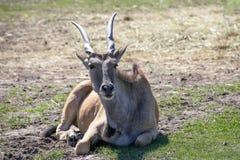 Gazelle, die auf dem Gras sitzt Stockbilder