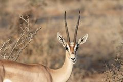 Gazelle die u bekijkt Royalty-vrije Stock Foto's
