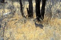Gazelle Dik Dik Stock Image