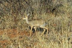Gazelle Dik Dik Stock Photos