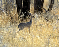 Gazelle Dik Dik Royalty Free Stock Images