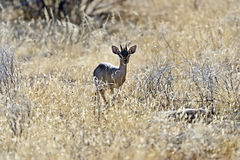 Gazelle Dik Dik. In the African savannah in the wild Stock Photography