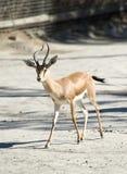 gazelle dorcas Стоковое Изображение