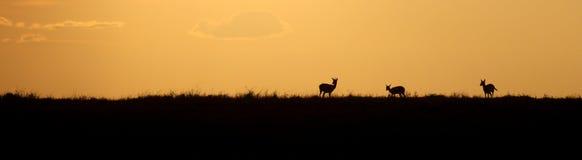 Gazelle drei silhouettiert gegen einen goldenen Sonnenuntergang lizenzfreie stockfotografie