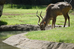 Gazelle drinks Royalty Free Stock Photography
