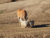 Gazelle drinks water Royalty Free Stock Photos