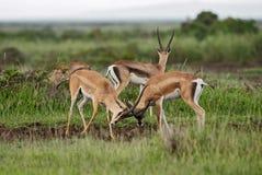 Gazelle du ` s de Grant - granti de Nanger photos libres de droits