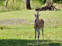 Gazelle Eating Stock Image