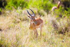 Gazelle eating in Serengeti Africa Royalty Free Stock Photos