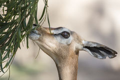 Gazelle Eating. A young Gazelle eating leaves off a tree Royalty Free Stock Images