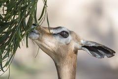 Gazelle Eating Royalty Free Stock Images