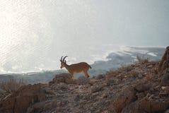 Gazelle en het dode overzees Royalty-vrije Stock Afbeeldingen