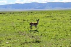 Gazelle en Tanzanie Photo libre de droits