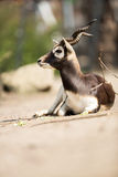 Gazelle enjoying in sunny day Stock Image