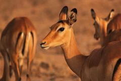 Gazelle Face - Safari Kenya Royalty Free Stock Photos