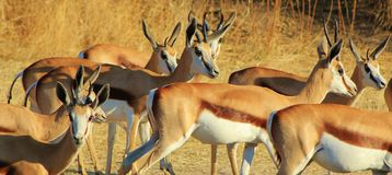 Gazelle Family of sisters - Springbuck Stock Photos