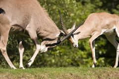 Gazelle Fight. Two Gazelle butting horns Stock Photo