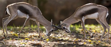 Gazelle fight Stock Photography