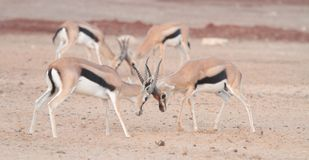 Gazelle fighting Stock Photography