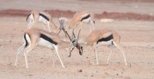 Gazelle fighting Stock Photography