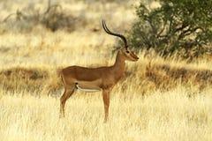 Gazelle Grant Stock Image