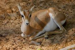 Gazelle having a break in the sand royalty free stock photo