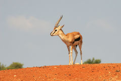 Gazelle on the hill. Stock Image