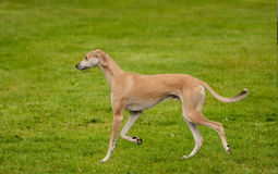 Gazelle hound gaiting across the lawn Stock Photography