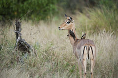 Gazelle  - Impala Royalty Free Stock Photos