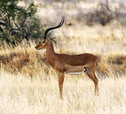 Gazelle Impala Royalty Free Stock Images