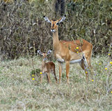Gazelle Impala Royalty Free Stock Photography