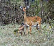 Gazelle Impala Stock Images