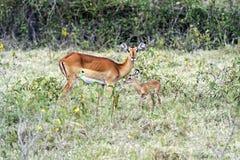 Gazelle Impala Stock Photo