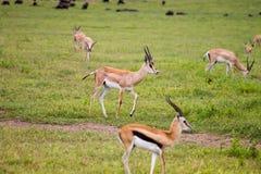 Gazelle Impala animal. Photography taken in Arusha, Tanzania royalty free stock photo