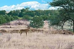 Gazelle Impala  in savannah Royalty Free Stock Images