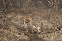 Gazelle indienne Photographie stock